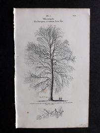 John Loudon 1838 Antique Botanical Tree Print. European or Common Lime Tree